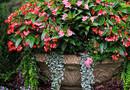 Бегония вечноцветущая — выращивание и уход
