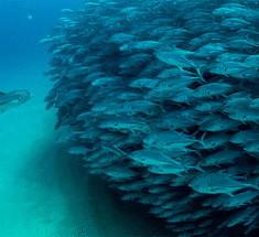 Рыбное торнадо на снимках Octavio Aburto