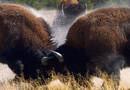 5 увлекательных фактов о бизонах