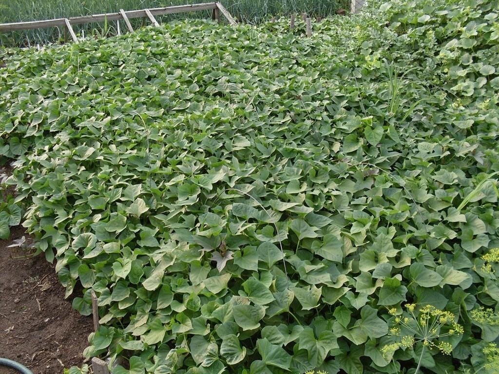 Жаркий июнь и теплый влажный июль в степной зоне Хакасии 2012 году обеспечили формирование большой вегетативной массы...