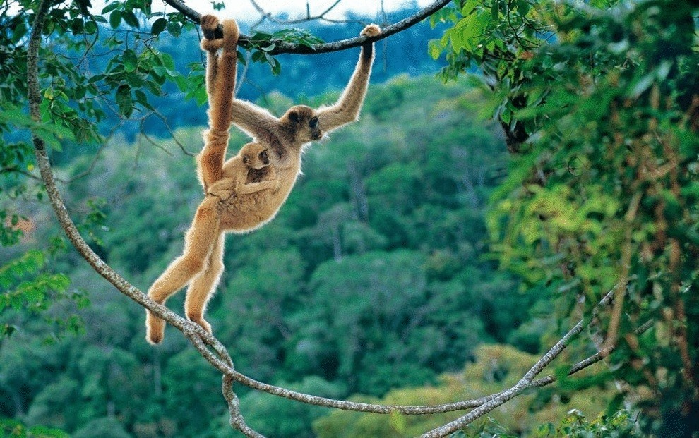 Рыжеватая обезьяна