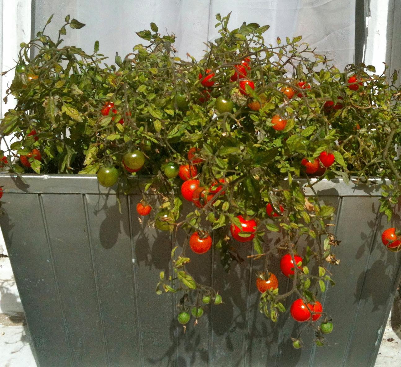 Что сделать чтобы зелёные помидоры покраснели? 60