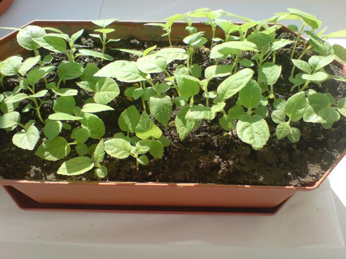 Как выращивать киви в домашних условиях фото