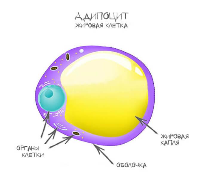колыбель целлюлита - Адипоцит