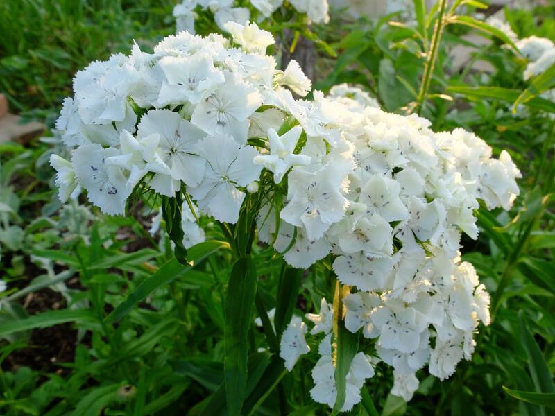 белые садовые цветы названия и фото себя