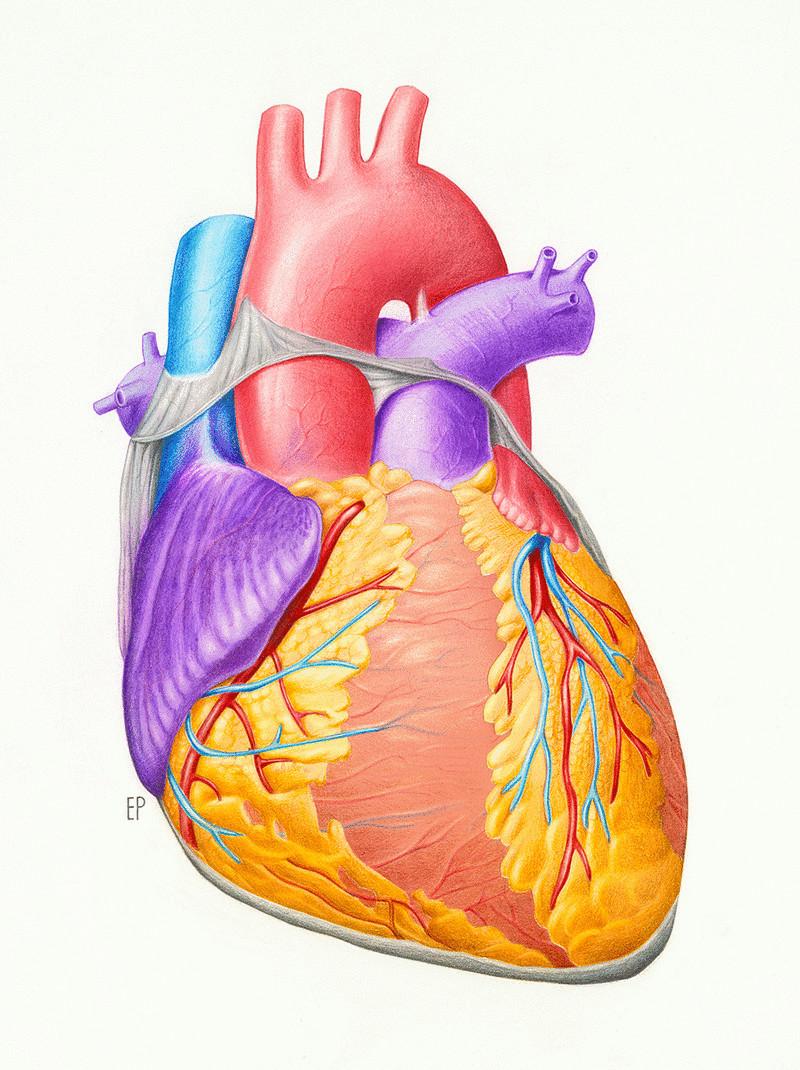 Картинка сердце человека для детей, для