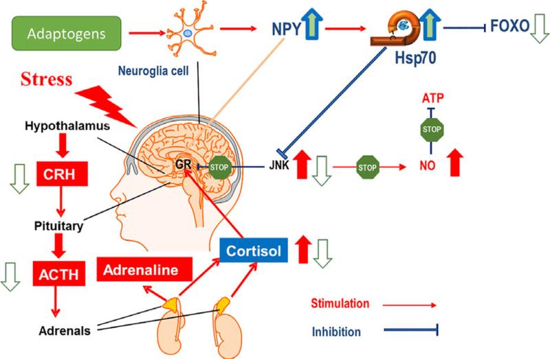 Адаптогены: волшебное средство от вялости и пониженного иммунитета