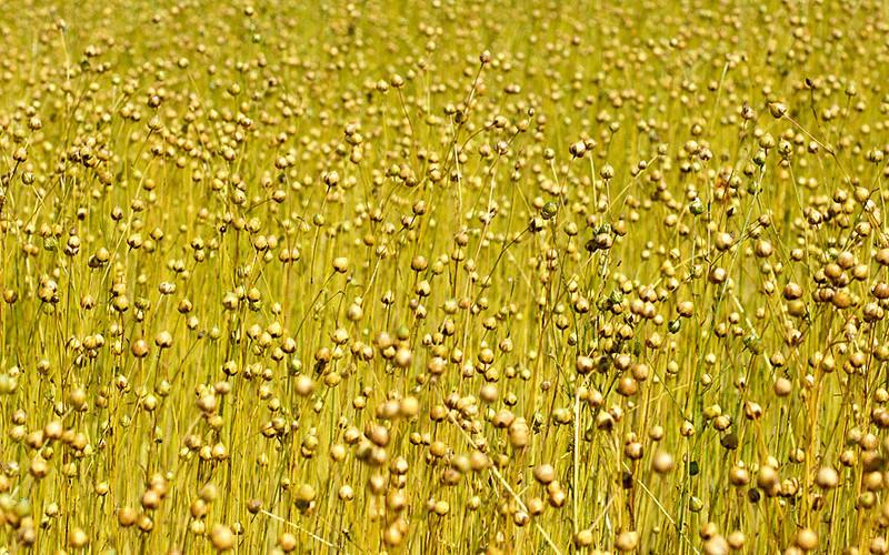 фото лен растения